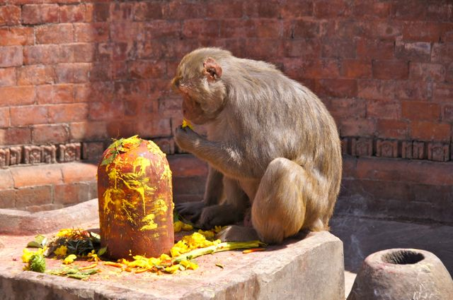 Monkey eating the offerings at the Pashupatinath Hindu temple.