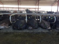 Cows rest in manure at Lost Valley Farm. (Photo by Brian Posewitz).