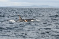 Orcas, photo by NOAA Fisheries West Coast.