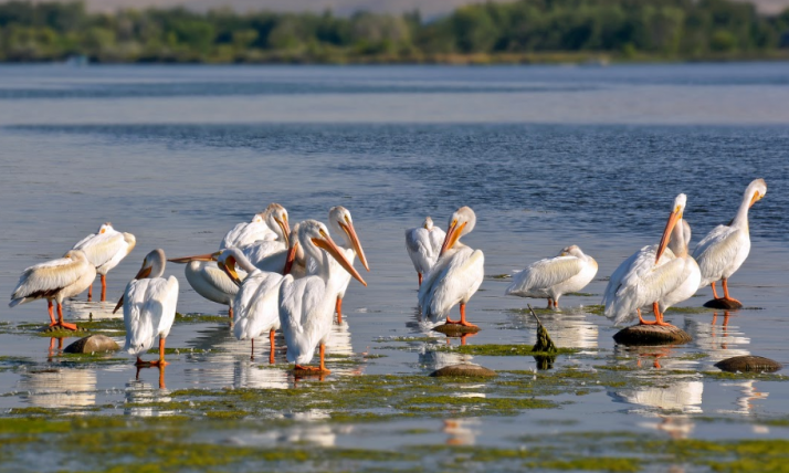 Pelicans at Hanford, photo by Liv Smith.