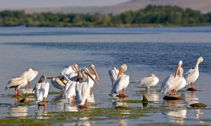 Pelicans in the Columbia River near Pasco, WA, photo by Liv Smith