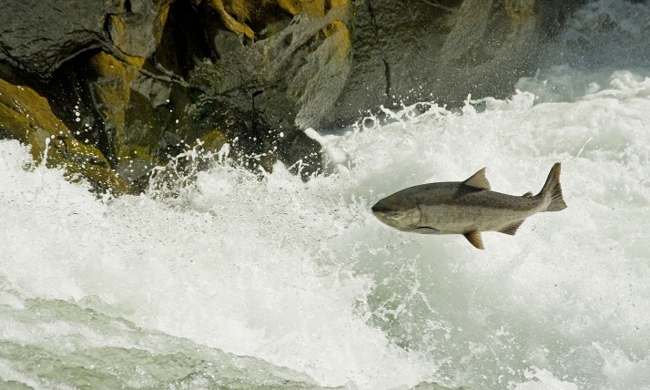 Salmon leaping over Lyle Falls, photo by Peter Marbach