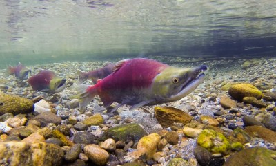 Sockeye salmon by Russ Rickets
